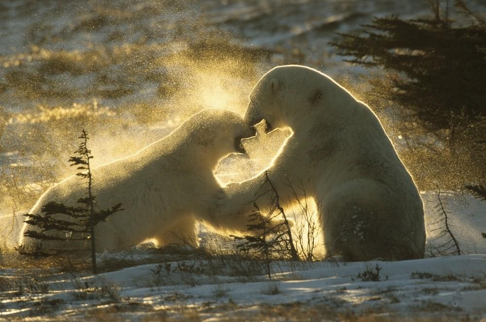 Bei diesen Scheinkämpfen müssen die Bären darau achten, dass sich sich nicht überhitzen. Meist geht alles harmlos aus. Aber manchmal gibt es auch blutige Verletzungen.
